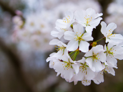 Macon, Georgia is famous for its of cherry blossoms that bloom during the month of March